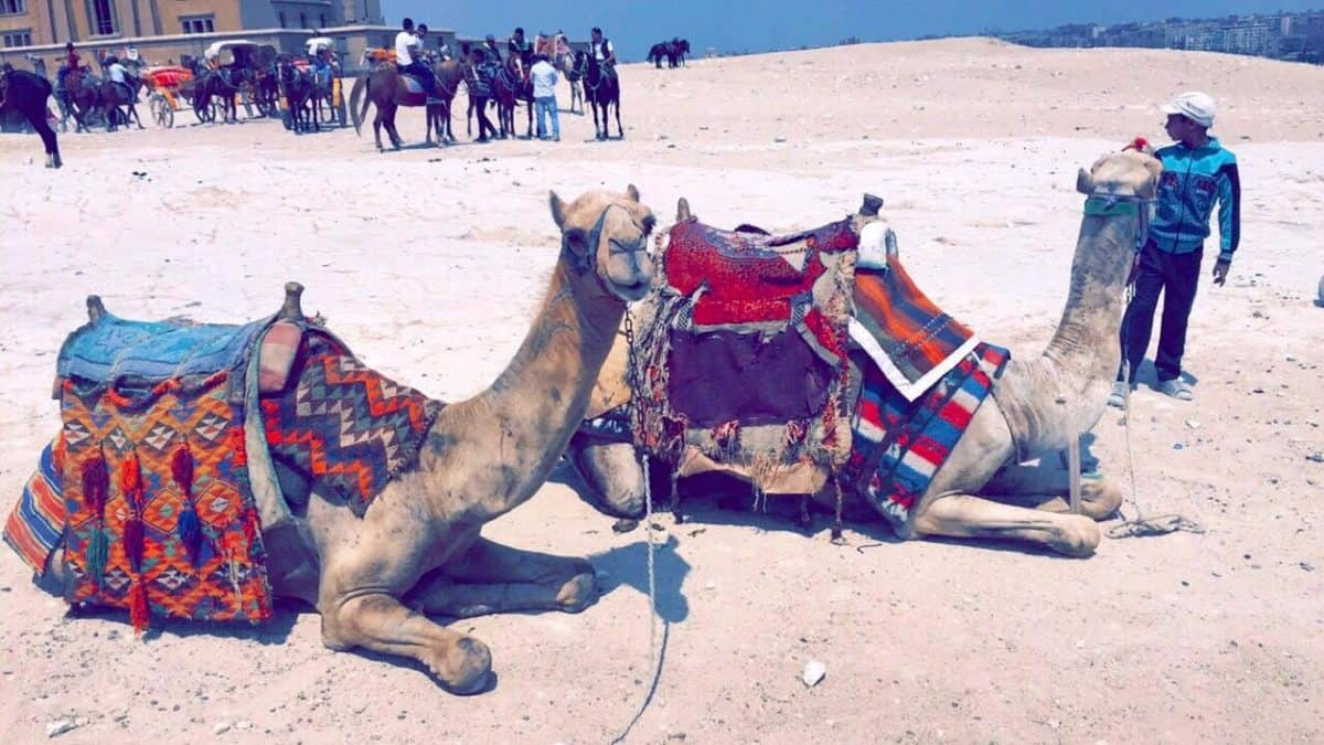 Camels are one of the Pictures That Will Make You Want To Visit Cairo