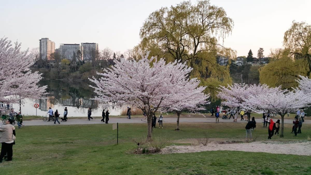 Toronto Cherry Blossoms