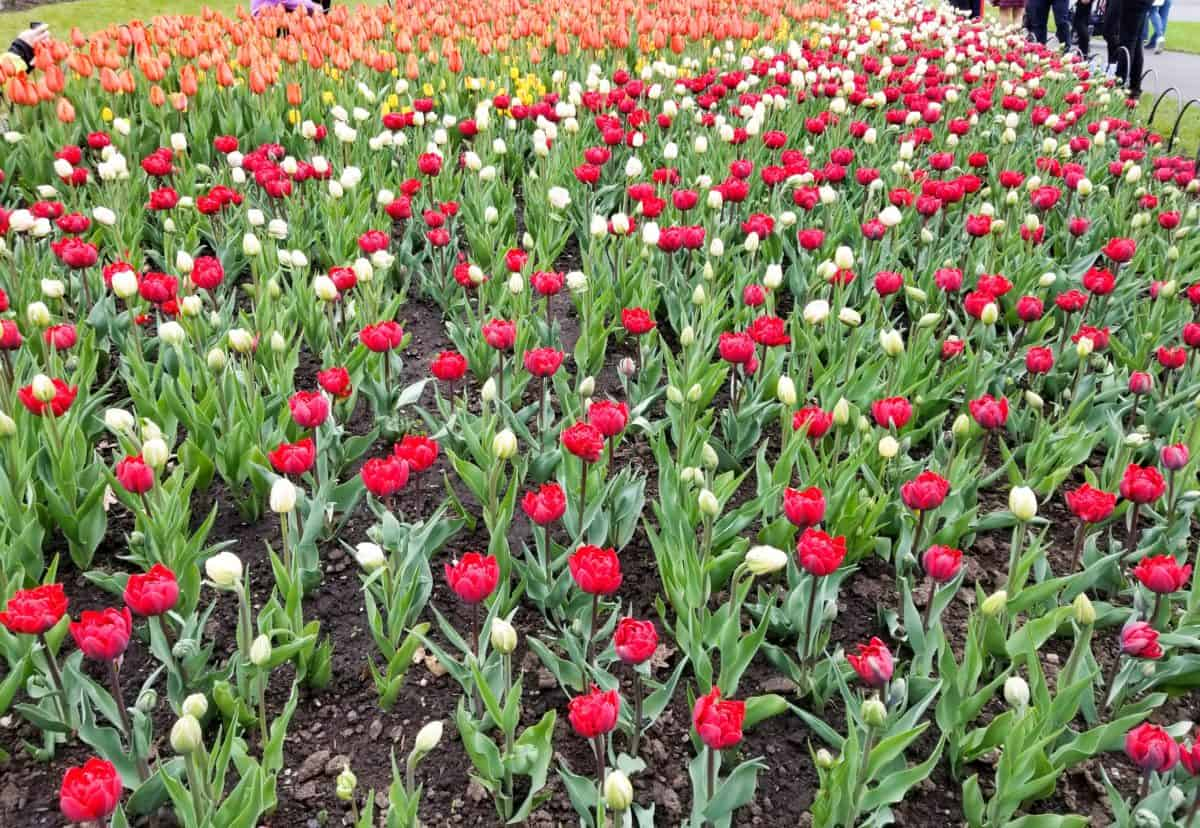 tulips essay To the tulip flower by the ottoman empire this flower became increasingly popular in holland and was eventually seen as a sign of luxury and a status.