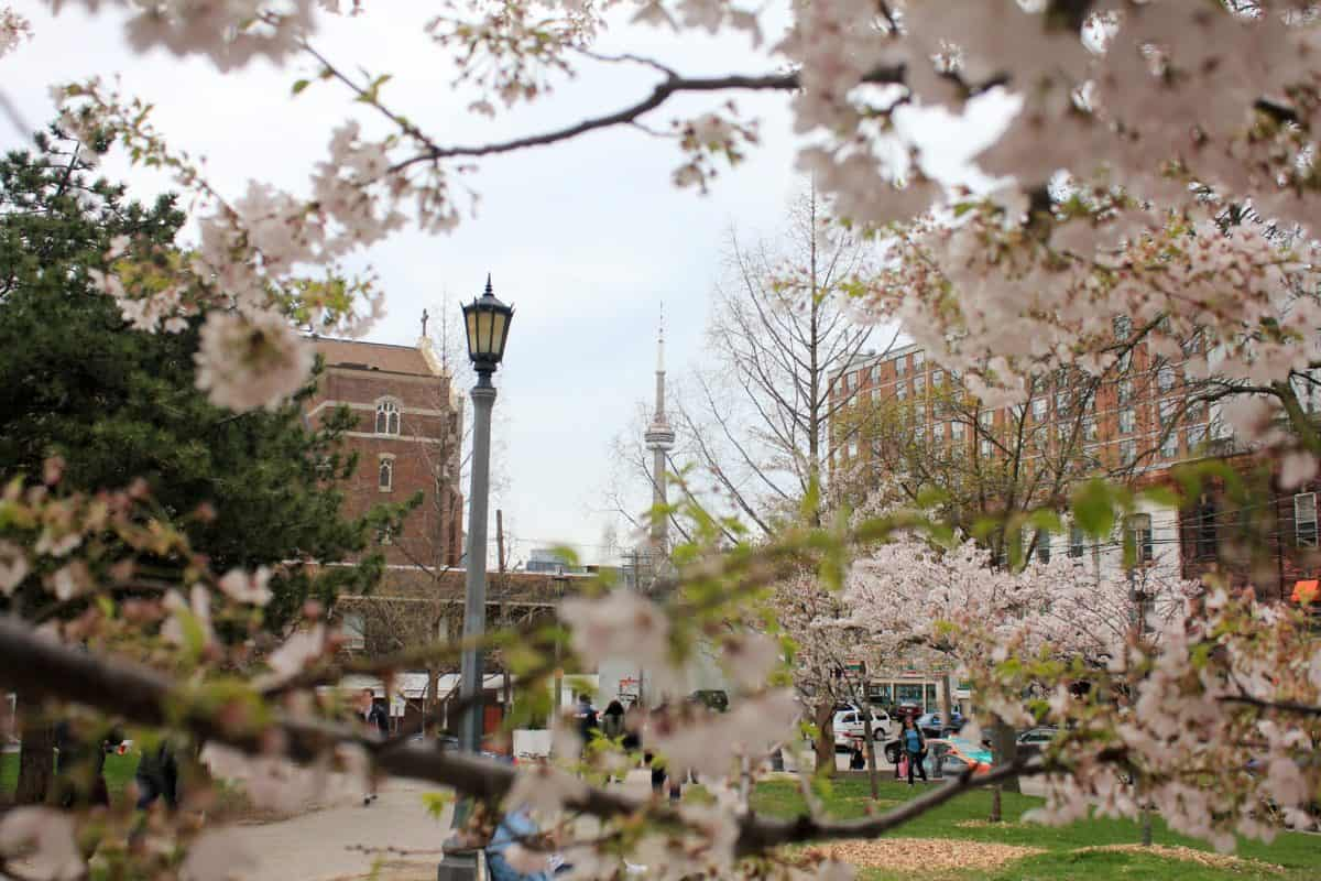 Toronto Traditions: Toronto Cherry Blossoms
