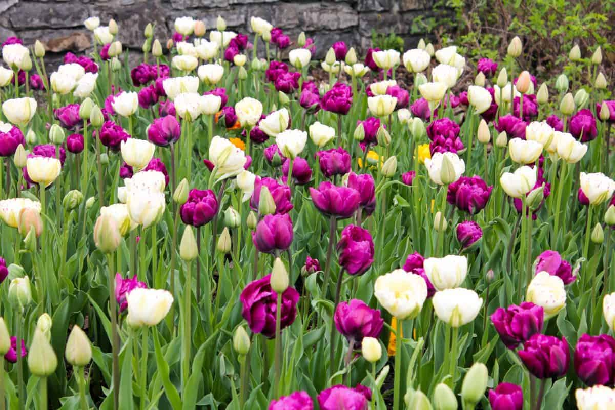 Photo Essay: Ottawa Tulip Festival