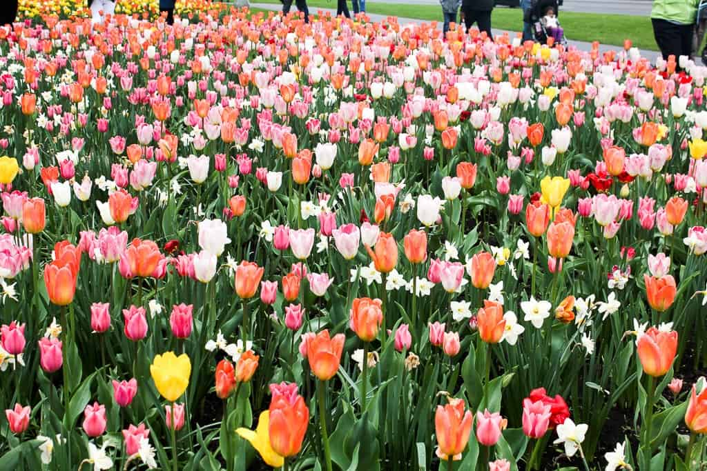 Ottawa Tulip Festival was one of my favorite travel moments
