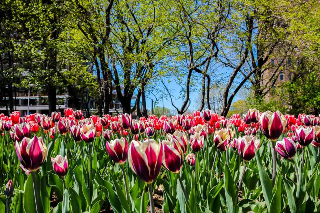 Visiting the Ottawa Tulip Festival and Why You Need To Go