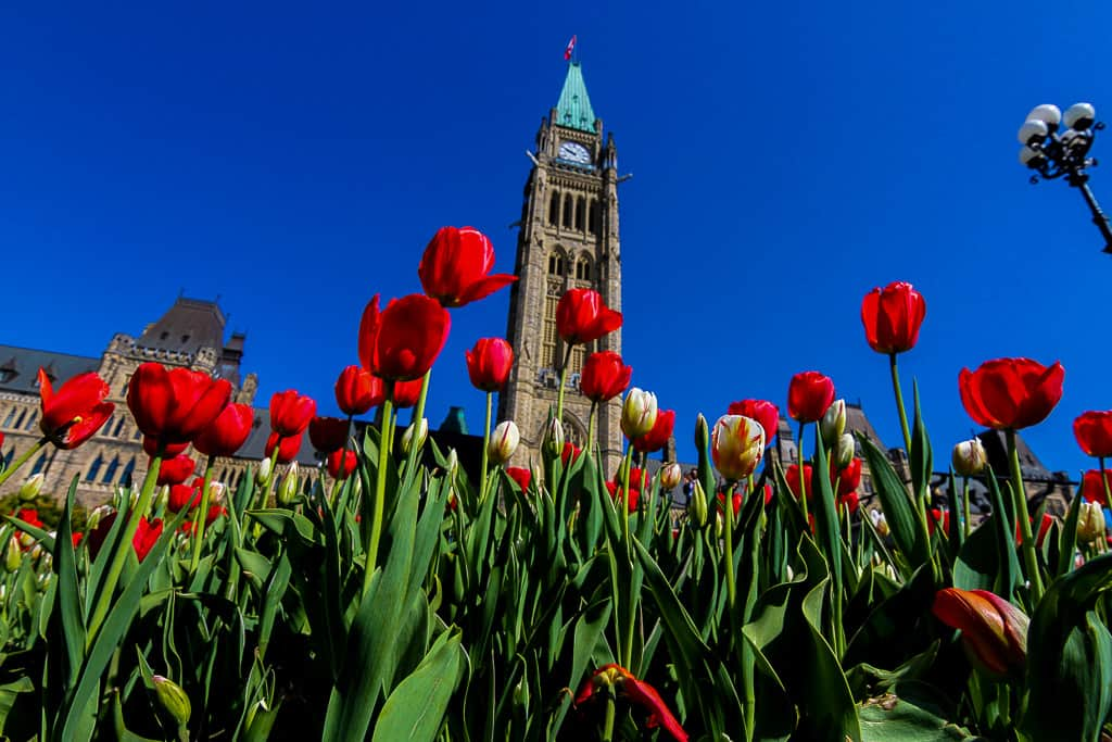 Tulips at Parliament