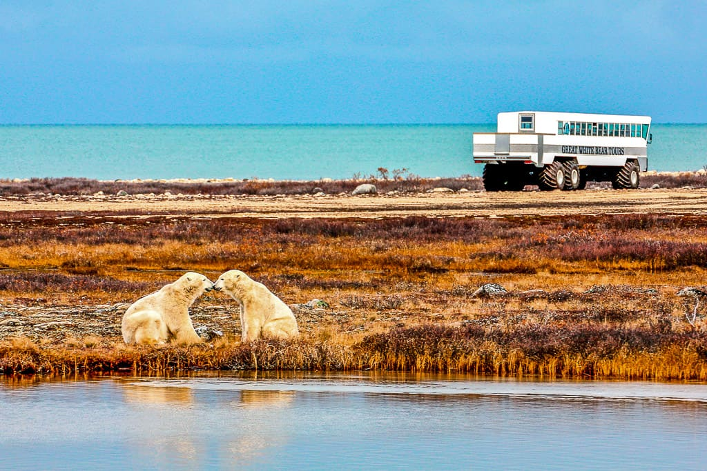 Polar Bears in Churchill, Manitoba is one of the most beautiful places in Canada