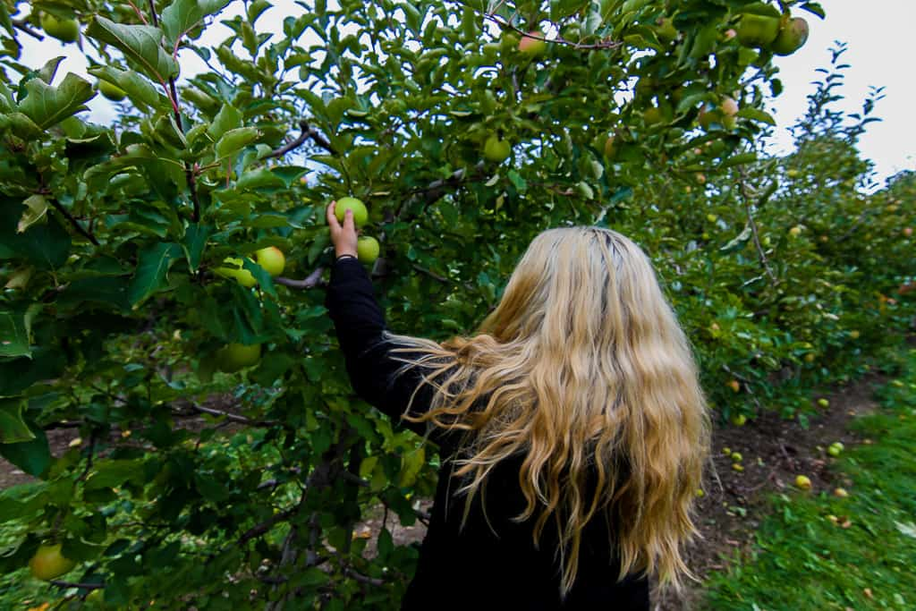 Apple Picking is one of the things to do in Ontario this fall