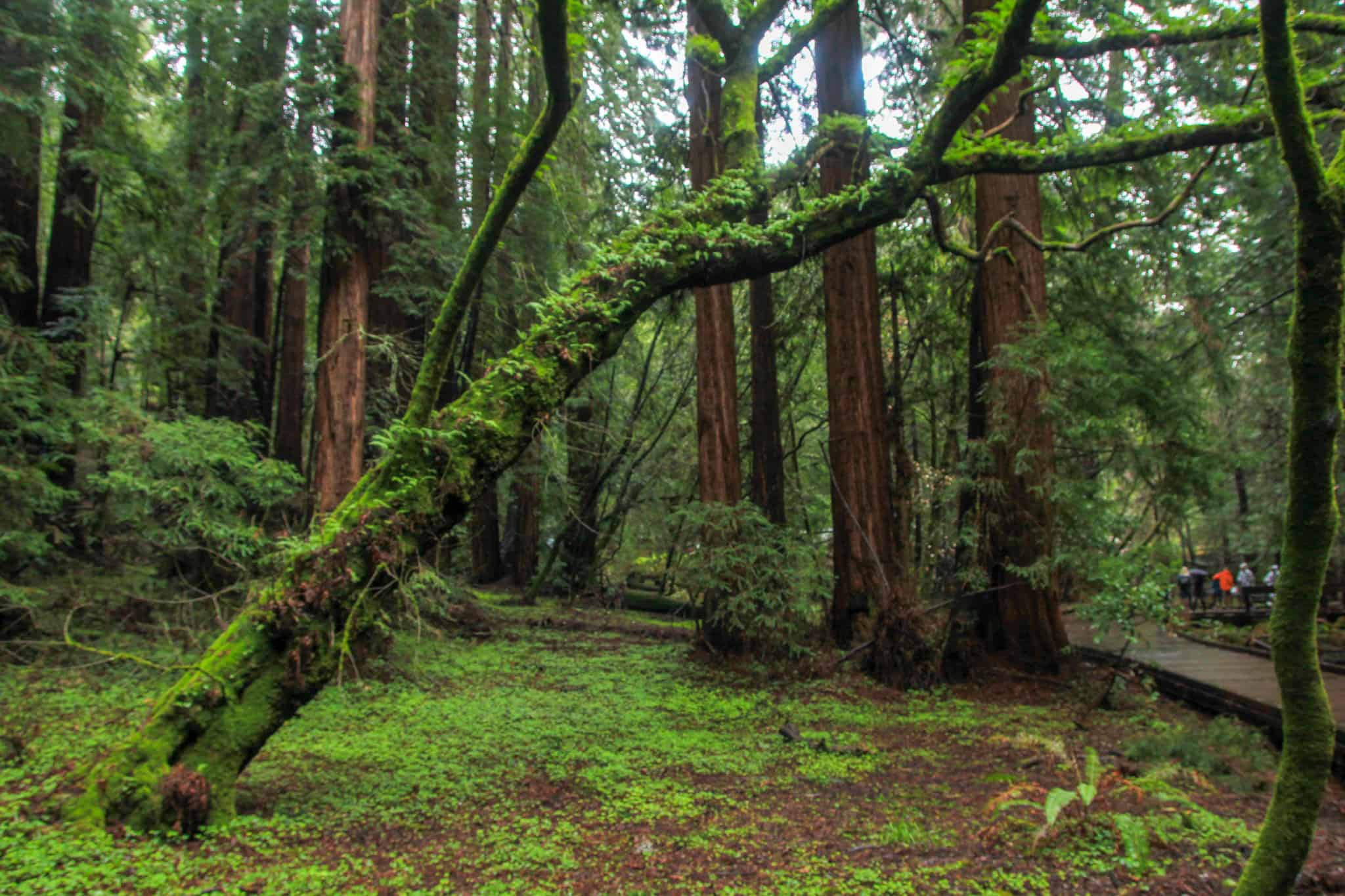 Hiking Muir Woods is a must when spending 2 days in San Francisco