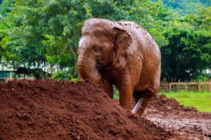 An elephant taking a mud bath at the Elephant Sanctuary outside of Chiang Mai